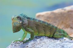 Iguana. Sitting on the rocks near Caribbean sea stock photo