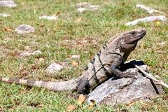 Iguana. Sitting on the stone Stock Image