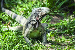 Iguana sitting in the sunlit grass. And relaxing royalty free stock photography