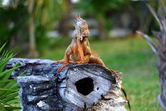 Iguana. Sitting on a tree trunk in Cozumel - Mexico Stock Photography
