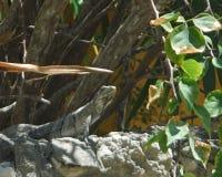 Iguana sitting on wall Royalty Free Stock Photos