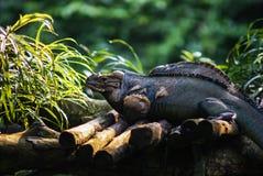 Iguana sitting on the wood Royalty Free Stock Images
