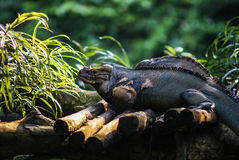 Iguana sitting on the wood. In Singapore ZOO Royalty Free Stock Images