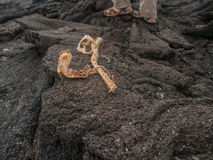 Iguana Skeleton. On black lava rock in Galapagos Islands Ecuador. One set of human feet wearing sandals in background royalty free stock photography