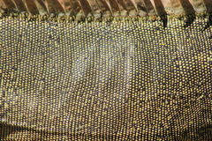 Iguana skin in detail Stock Photo