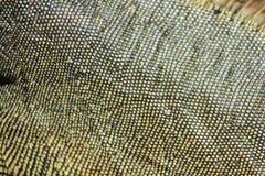 Iguana skin in detail Royalty Free Stock Images