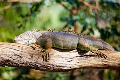 Iguana sleeping Royalty Free Stock Photos
