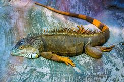 Iguana. Sleeping dragon. Portrait of a large lizard reptile igua Royalty Free Stock Images