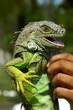 Iguana Smile. An iguana smiling with a little help from its keeper Stock Photo