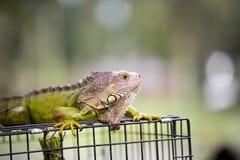 Iguana smok Obraz Royalty Free