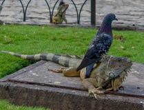 Iguana sob um pombo Foto de Stock