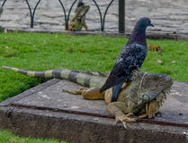Iguana sotto un piccione Fotografia Stock