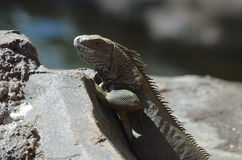 Iguana With Spikey Back Royalty Free Stock Image
