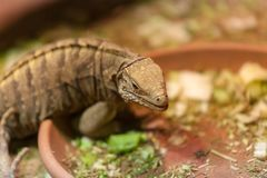 Iguana Spintail in the Prague Zoo. royalty free stock photos