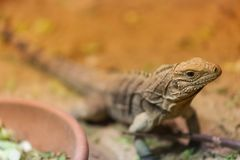 Iguana Spintail in the Prague Zoo. stock photography