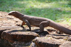 Iguana spotted in ancient site Stock Image