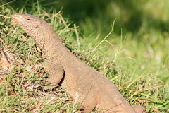 Iguana spotted in ancient site Sri Lanka. Iguana spotted in ancient site in Sri Lanka Royalty Free Stock Image