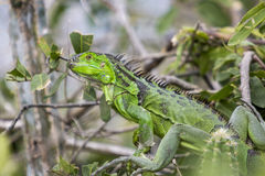 Iguana from St Martin, French Caribbean Islands Royalty Free Stock Images