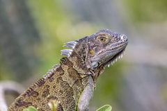 Iguana from St Martin, French Caribbean Islands Stock Image