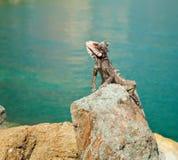 Iguana in St. Thomas, Caribbean Stock Photos