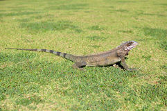 Iguana standing on green grass Royalty Free Stock Photography