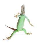 Iguana Standing Raising Hand Royalty Free Stock Photography
