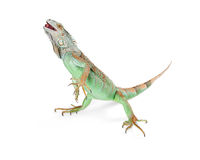 Iguana Standing on White Walking Royalty Free Stock Photography