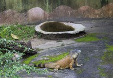 The iguana Stock Photography