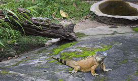 The iguana Royalty Free Stock Images