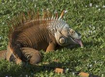 Iguana Sticking Out Its Tongue Stock Image