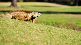 Iguana sticking out tongue Royalty Free Stock Photo