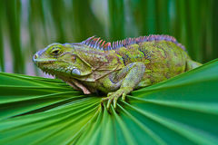 Iguana Still. Iguana perched at the base of a palm frond Royalty Free Stock Images