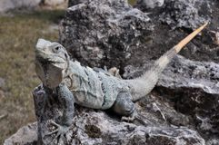Iguana on stone Royalty Free Stock Photos