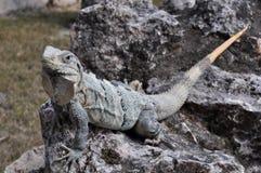 iguana stone 免版税库存照片
