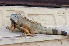 Iguana on stone bench Stock Photo