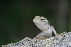 Iguana on a stone Stock Photography