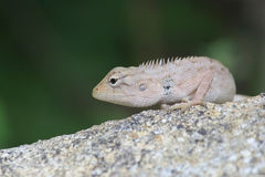 Iguana on a stone Stock Images