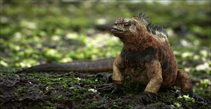 The iguana on stones with seaweed. Royalty Free Stock Photos