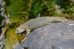 Iguana Stretched out on a Rock in Aruba Royalty Free Stock Images