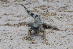 Iguana with a Striped Tail on a Sand Beach Royalty Free Stock Images