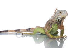 Iguana at studio. Iguana posing to cam isolated on white background Stock Photography