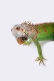 Iguana su fondo bianco Fotografia Stock