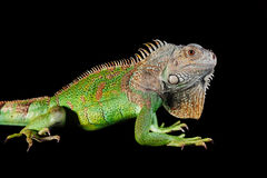 Iguana su fondo nero Immagine Stock