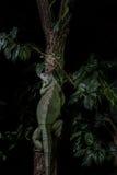 Iguana su un albero che striscia e che posa Immagini Stock Libere da Diritti