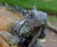 Iguana su un banco #3 Immagine Stock Libera da Diritti
