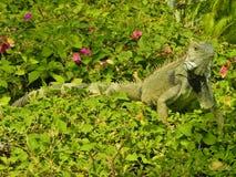 Iguana su un cespuglio Fotografia Stock Libera da Diritti