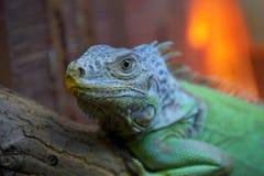 Iguana su un fondo vago Immagini Stock