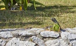 Iguana su una roccia Immagine Stock Libera da Diritti