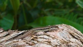 Iguana su una roccia nel giardino. Fotografie Stock Libere da Diritti