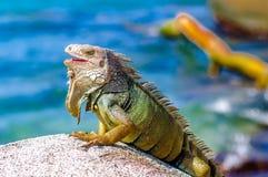 Iguana su una roccia in parco nazionale Tayrona in Colombia Fotografia Stock